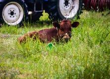 Giovane toro fotografie stock