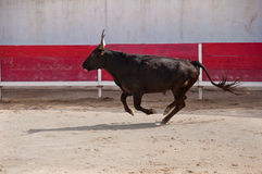 Giovane toro 7 Fotografia Stock