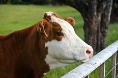 Giovane toro del simmental con la modifica di orecchio gialla Fotografia Stock
