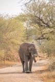 Giovane toro dell'elefante africano che cammina sulla strada non asfaltata immagine stock
