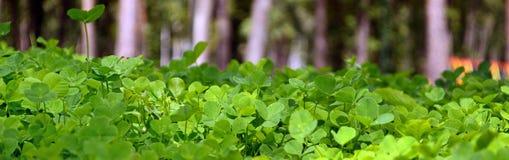 Giovane trifoglio verde Immagini Stock
