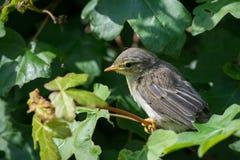 Giovane uccello Fotografie Stock Libere da Diritti