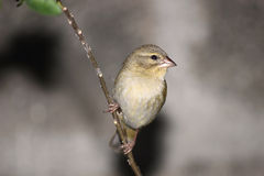 Giovane uccello cardinale sul ramo Fotografia Stock