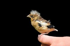 Giovane uccello del Hawfinch Fotografie Stock Libere da Diritti
