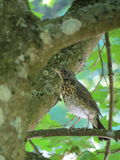 Giovane uccello del tordo Fotografie Stock