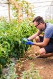 Giovane uomo dell'agricoltore che controlla la sua piantagione dei peperoni dolci nella serra Fotografia Stock