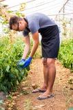 Giovane uomo dell'agricoltore che controlla la sua piantagione dei peperoni dolci nella serra Immagini Stock