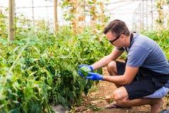 Giovane uomo dell'agricoltore che controlla la sua piantagione dei peperoni dolci nella serra Fotografie Stock Libere da Diritti