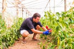 Giovane uomo dell'agricoltore che controlla la sua piantagione dei peperoni dolci nella serra Fotografia Stock Libera da Diritti