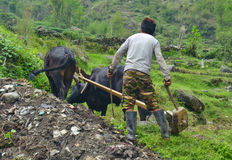 Giovane uomo nepalese che ara il campo con i tori Immagini Stock