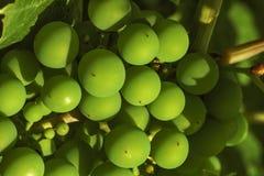 Giovane uva non matura immagine stock libera da diritti
