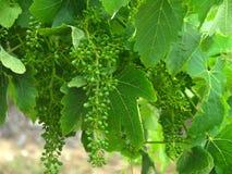 Giovane uva in primavera, zona dei Pyrenees, Australia immagini stock