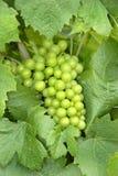 Giovane uva verde Fotografie Stock