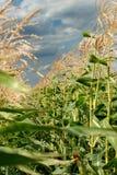 Giovane vegetazione su un campo di cereale Fotografia Stock