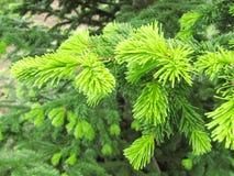 Giovane verde intenso del ramo attillato fotografia stock