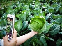 Giovane verdura della foto di Taking dell'agricoltore in telefono cellulare, azienda agricola astuta moderna organica 4 di Eco 0  fotografia stock