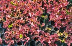Giovane verdura rossa Fotografia Stock