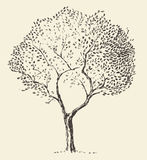 Giovane vettore dell'illustrazione di olivo disegnato a mano Immagini Stock Libere da Diritti