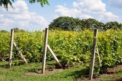 Giovane vigna del giacimento dell'uva Immagini Stock