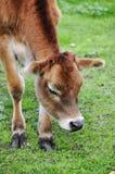 Giovane vitello Fotografie Stock