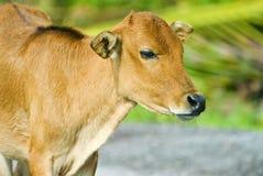 Giovane vitello Immagini Stock Libere da Diritti