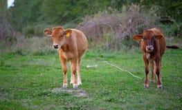 Giovane vitello Fotografia Stock