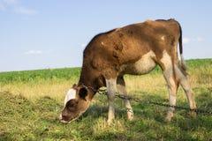 Giovane vitello Fotografia Stock Libera da Diritti