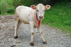 Giovane vitello bianco Fotografia Stock Libera da Diritti