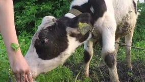 Giovane vitello che beve acqua sporca da un secchio stock footage