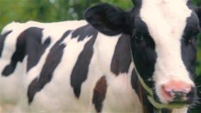 Giovane vitello che pasce in un prato nel villaggio stock footage