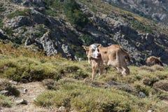 Giovane vitello che vaga liberamente sul prato della montagna Fotografia Stock Libera da Diritti