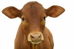 Giovane vitello con priorità bassa bianca Immagine Stock