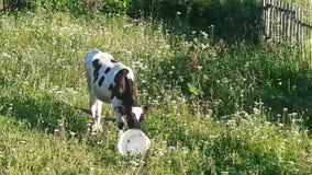 Giovane vitello curioso archivi video