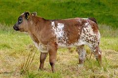 Giovane vitello della mucca nel campo Fotografia Stock