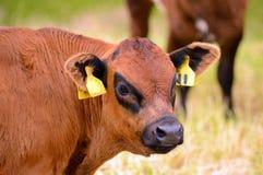 Giovane vitello della mucca nel campo - ritratto Immagine Stock Libera da Diritti
