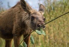 Giovane vitello delle alci che mangia le foglie fuori da un ramoscello fotografia stock libera da diritti
