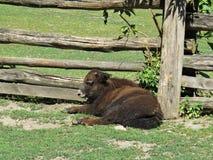 Giovane vitello maschio isolato della mucca dei yak che si trova e che si rilassa accanto al recinto di legno Paling su Sunny Day immagini stock libere da diritti