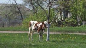 Giovane vitello nel prato stock footage