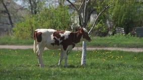 Giovane vitello nel prato archivi video