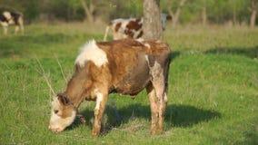 Giovane vitello nel prato video d archivio