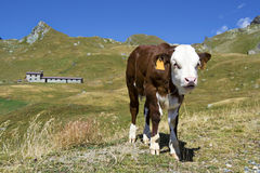 Giovane vitello nelle alpi, Italia Fotografie Stock