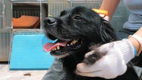 Giovane volontario femminile che spazzola cane randagio nero nel riparo r video d archivio