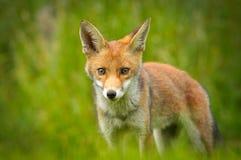 Giovane volpe rossa Immagini Stock