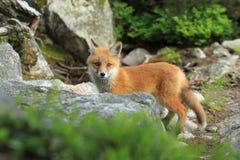 Giovane volpe rossa Fotografia Stock