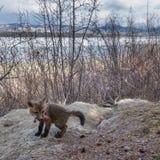 Giovane volpe rossa con alimento davanti alla tana fotografia stock libera da diritti