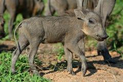 Giovane warthog Fotografia Stock Libera da Diritti
