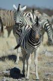 Giovane zebra Fotografie Stock Libere da Diritti