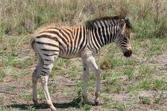 Giovane zebra immagine stock
