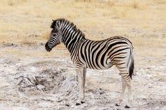 Giovane zebra in cespuglio africano Immagini Stock Libere da Diritti