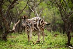 Giovane zebra che sta nel fogliame verde immagine stock libera da diritti